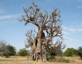 Old Baobab near Manega, Burkina Faso