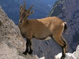 Alpine Ibex, Montasio, Italy