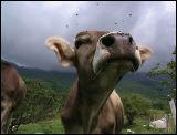 The Cow Queen