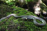 Grass Snake, Mirtovički Potok, Slovenia