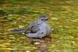 Gray Catbird bathing.jpg