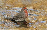 House Finch bathing.jpg