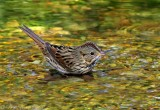 Lincoln's Sparrow bathing.jpg