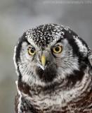 Northern Hawk Owl1