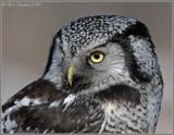 Northern Hawk Owl2