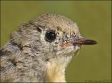 Ruby-crowned Kinglet Juvenile