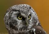 Boreal Owl2