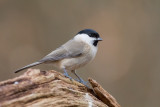 Marsh Tit - Glanskop