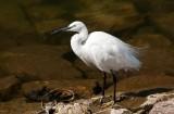 D3_1550 White Egret.jpg