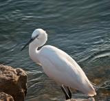 D3_1586 White Egret.jpg