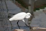 D3_1729 White Egret.jpg