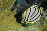 Collared Butterflysfish