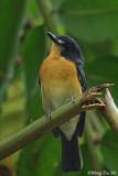 (Cyornis rufigastra) Mangrove Blue Flycatcher ♀