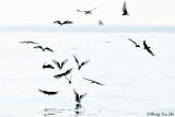 (Chlidonias leucopterus) White-winged Black Tern