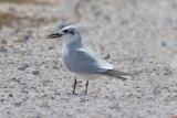 Gull-billed-Tern.jpg