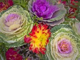 Flower cabage pdx.jpg