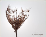 Queen Anne's Lace...winter plumage :0)