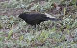 Koltrast (rasen cabrerae)Eurasian Blackbird (cabrerae)(Turdus merula cabrerae)