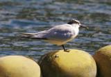 Kentsk tärnaSandwich Tern(Thalasseus sandvicensis)