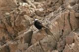 Vitkronad stenskvättaWhite-tailed Wheatear(Oenanthe leucopyga)