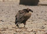 ÖrongamLappet-faced Vulture(Torgos tracheliotus)
