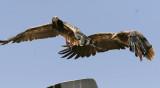 SmutsgamEgyptian Vulture(Neophron percnopterus)