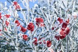 Rime Ice and Red Berries