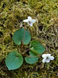 White Violet 3