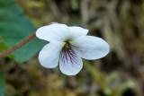 White Violet 4