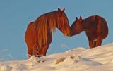 Wild horse Stallion and Son.