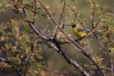 Western Goldfinch - Sedona, Arizona