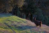 Rama the Llama - Alpicella Vineyard - Sonoma County, California