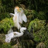 Hérons garde-boeuf -- Cattle Egret