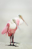 Spatule rosée -- Roseate Spoonbill