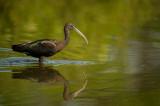 Ibis falcinelle -- Glossy ibis