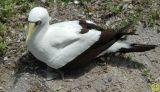 Masked Booby bird