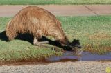Emu drinking