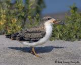 _B3L1394-Skimmer Chick.jpg