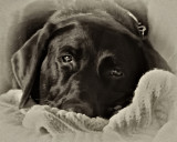 Labs are Love