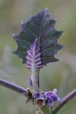 Fresh leaves (Costa Rica)