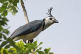 Jays, Thrushes, Silky-Flycatcher