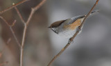 Mésange a tete brune - Boreal Chickadee