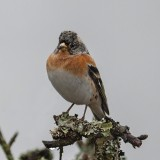 Brambling (Male)