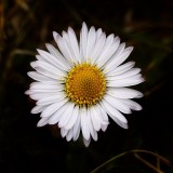 Tiny Field Daisy