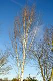 Silver birch in the garden