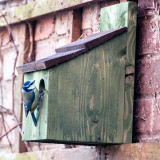 Blue tit checking out one of our nest boxes