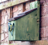 Blue tit checking out one of our bird boxes