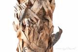 gila woodpeckers