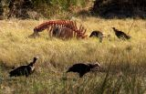 Vultures cleaning up a buffalo carcus