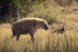 Spotted Hyenas actually eat the bones